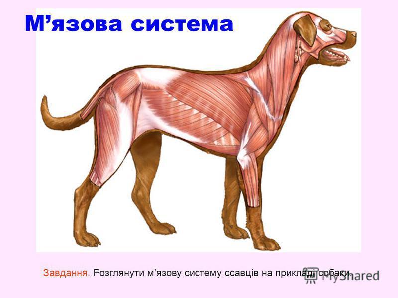 Мязова система Завдання. Розглянути мязову систему ссавців на прикладі собаки.