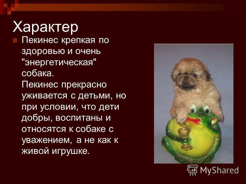 Характер Пекинес крепкая по здоровью и очень энергетическая собака. Пекинес прекрасно уживается с детьми, но при условии, что дети добры, воспитаны и относятся к собаке с уважением, а не как к живой игрушке.