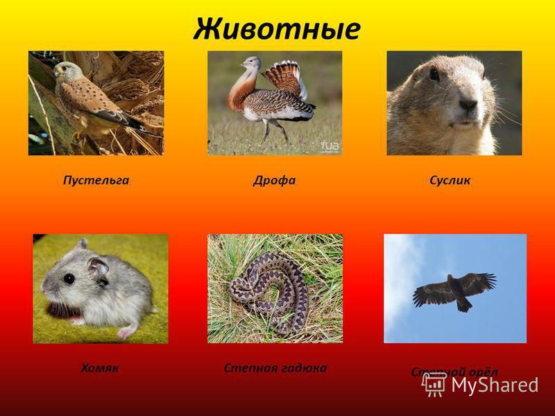 Животные Пустельга ДрофаСуслик Хомяк Степная гадюка Степной орёл