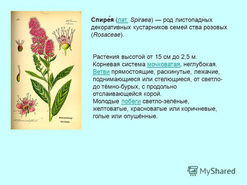 Спире́я (лат. Spiraea) род листопадных декоративных кустарников семейства розовых (Rosaceae).лат. Растения высотой от 15 см до 2,5 м. Корневая система мочковатая, неглубокая.мочковатая Ветви Ветви прямостоящие, раскинутые, лежачие, поднимающиеся или