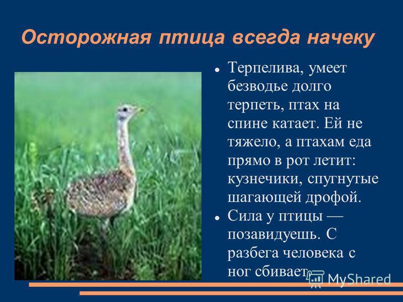 Осторожная птица всегда начеку Терпелива, умеет безводье долго терпеть, птах на спине катает. Ей не тяжело, а птахам еда прямо в рот летит: кузнечики, спугнутые шагающей дрофой. Сила у птицы позавидуешь. С разбега человека с ног сбивает.