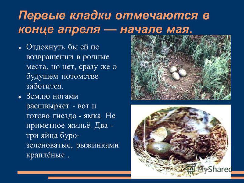 Первые кладки отмечаются в конце апреля начале мая. Отдохнуть бы ей по возвращении в родные места, но нет, сразу же о будущем потомстве заботится. Землю ногами расшвыряет - вот и готово гнездо - ямка. Не приметное жильё. Два - три яйца буро- зеленова