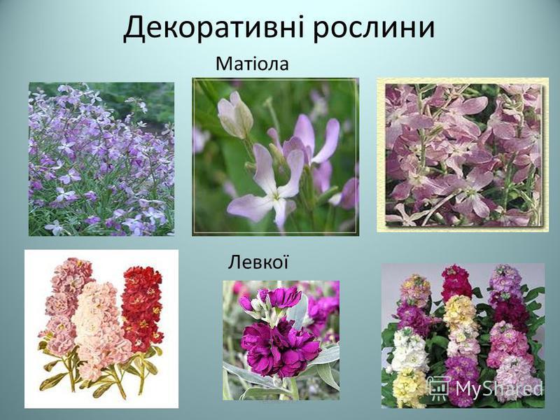 Декоративні рослини Матіола Левкої Теслюк Л.П