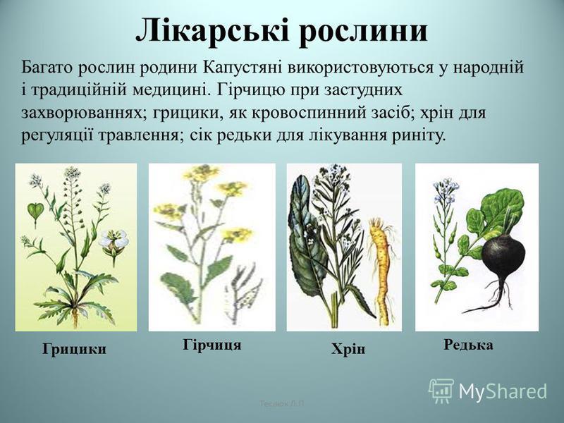 Лікарські рослини Багато рослин родини Капустяні використовуються у народній і традиційній медицині. Гірчицю при застудних захворюваннях; грицики, як кровоспинний засіб; хрін для регуляції травлення; сік редьки для лікування риніту. Грицики Гірчиця Х