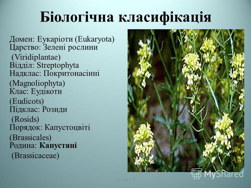 Біологічна класифікація Домен: Еукаріоти (Eukaryota) Царство: Зелені рослини (Viridiplantae) Відділ: Streptophyta Надклас: Покритонасінні (Magnoliophyta) Клас: Еудікоти (Eudicots) Підклас: Розиди (Rosids) Порядок: Капустоцвіті (Brassicales) Родина: К