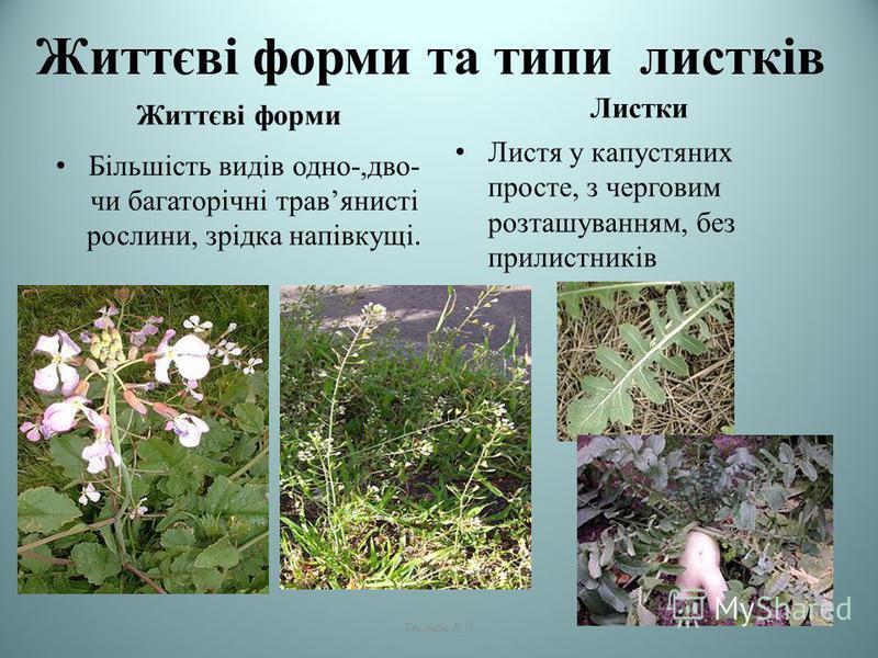 Життєві форми та типи листків Життєві форми Більшість видів одно-,дво- чи багаторічні травянисті рослини, зрідка напівкущі. Листки Листя у капустяних просте, з черговим розташуванням, без прилистників Теслюк Л.П