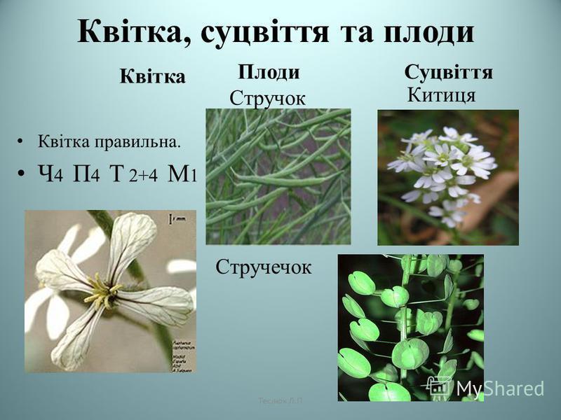 Квітка, суцвіття та плоди Квітка Плоди Суцвіття Квітка правильна. Ч 4 П 4 Т 2+4 М 1 Стручок Стручечок Китиця Теслюк Л.П
