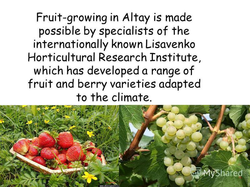 Fruit-growing in Altay is made possible by specialists of the internationally known Lisavenko Horticultural Research Institute, which has developed a range of fruit and berry varieties adapted to the climate.