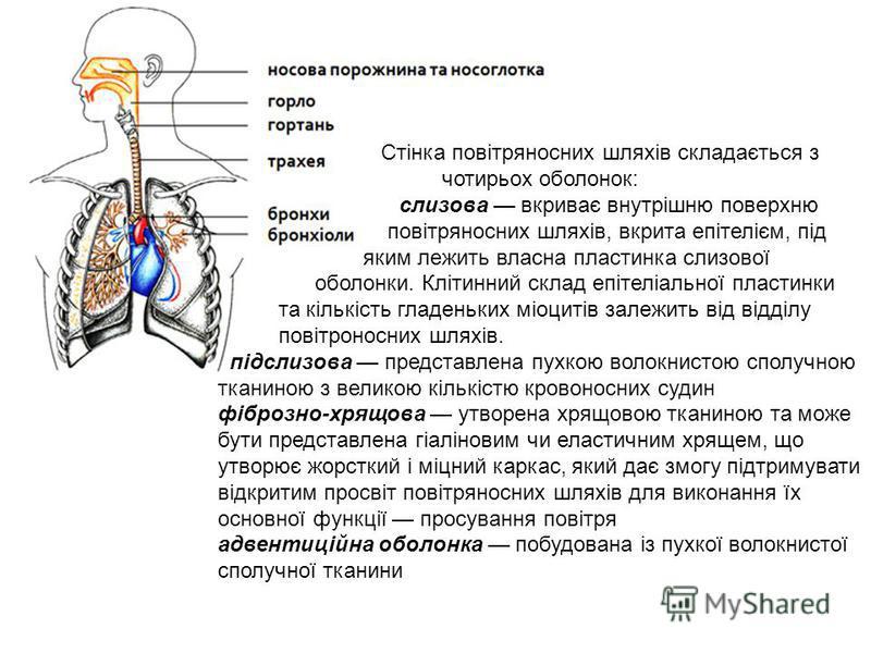 Стінка повітряносних шляхів складається з чотирьох оболонок: слизова вкриває внутрішню поверхню повітряносних шляхів, вкрита епітелієм, під яким лежить власна пластинка слизової оболонки. Клітинний склад епітеліальної пластинки та кількість гладеньки