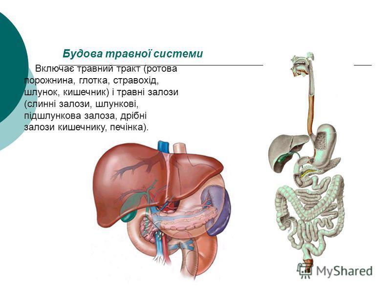 Будова травної системи Включає травний тракт (ротова порожнина, глотка, стравохід, шлунок, кишечник) і травні залози (слинні залози, шлункові, підшлункова залоза, дрібні залози кишечнику, печінка).