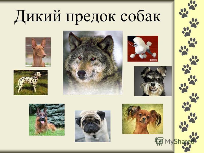 Дикий предок собак ?