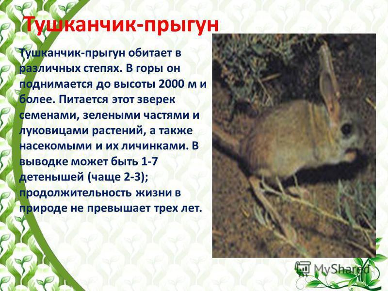 Тушканчик-прыгун Тушканчик-прыгун обитает в различных степях. В горы он поднимается до высоты 2000 м и более. Питается этот зверек семенами, зелеными частями и луковицами растений, а также насекомыми и их личинками. В выводке может быть 1-7 детенышей