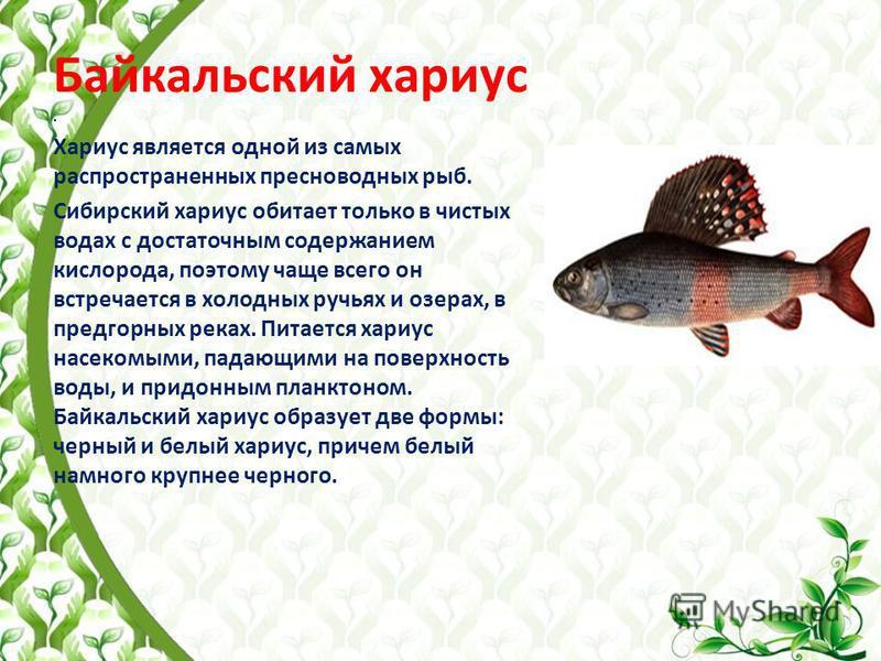 Байкальский хариус. Хариус является одной из самых распространенных пресноводных рыб. Сибирский хариус обитает только в чистых водах с достаточным содержанием кислорода, поэтому чаще всего он встречается в холодных ручьях и озерах, в предгорных реках