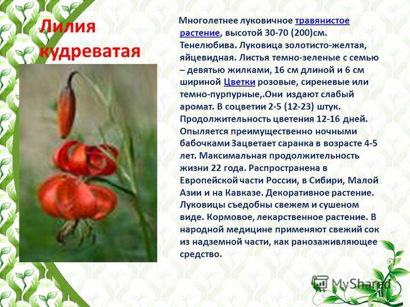 Лилия кудреватая Многолетнее луковичное травянистое растение, высотой 30-70 (200)см. Тенелюбива. Луковица золотисто-желтая, яйцевидная. Листья темно-зеленые с семью – девятью жилками, 16 см длиной и 6 см шириной Цветки розовые, сиреневые или темно-пу
