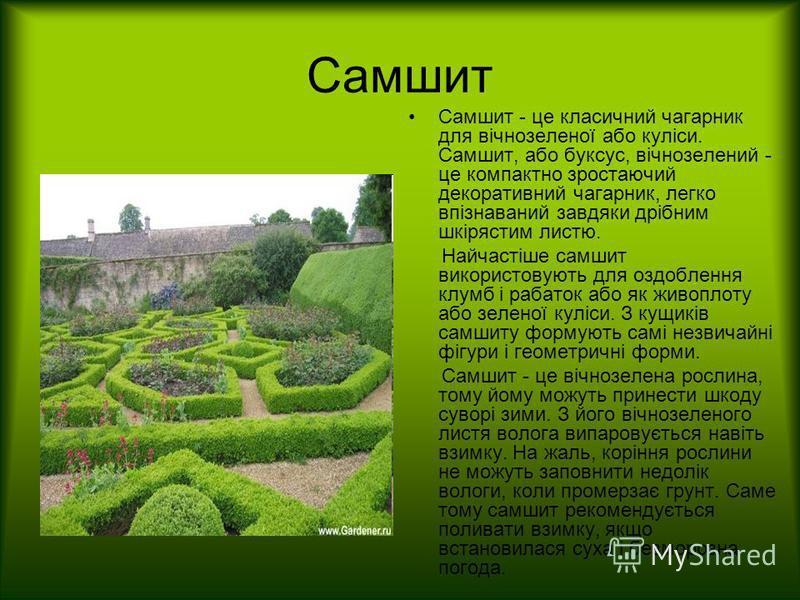 Самшит Самшит - це класичний чагарник для вічнозеленої або куліси. Самшит, або буксус, вічнозелений - це компактно зростаючий декоративний чагарник, легко впізнаваний завдяки дрібним шкірястим листю. Найчастіше самшит використовують для оздоблення кл