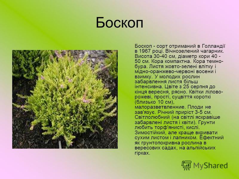 Боскоп Боскоп - сорт отриманий в Голландії в 1967 році. Вічнозелений чагарник. Висота 30-40 см, діаметр кори 40 - 50 см. Кора компактна. Кора темно- бура. Листя жовто-зелені влітку і мідно-оранжево-червоні восени і взимку. У молодих рослин забарвленн