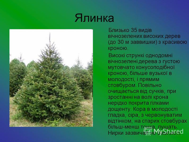 Ялинка Близько 35 видів вічнозелених високих дерев (до 30 м заввишки) з красивою кроною. Високі стрункі однодомні вічнозелені дерева з густою мутовчато конусоподібної кроною, більше вузької в молодості, і прямим стовбуром. Повільно очищається від суч