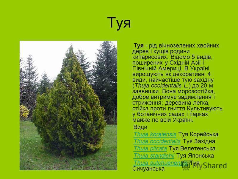 Туя Туя - рід вічнозелених хвойних дерев і кущів родини кипарисових. Відомо 5 видів, поширених у Східній Азії і Північній Америці. В Україні вирощують як декоративні 4 види, найчастіше тую західну (Thuja occidentalis L.) до 20 м заввишки. Вона морозо