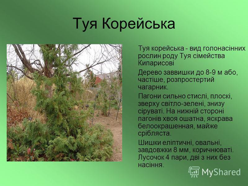 Туя Корейська Туя корейська - вид голонасінних рослин роду Туя сімейства Кипарисові Дерево заввишки до 8-9 м або, частіше, розпростертий чагарник. Пагони сильно стислі, плоскі, зверху світло-зелені, знизу сіруваті. На нижній стороні пагонів хвоя ошат