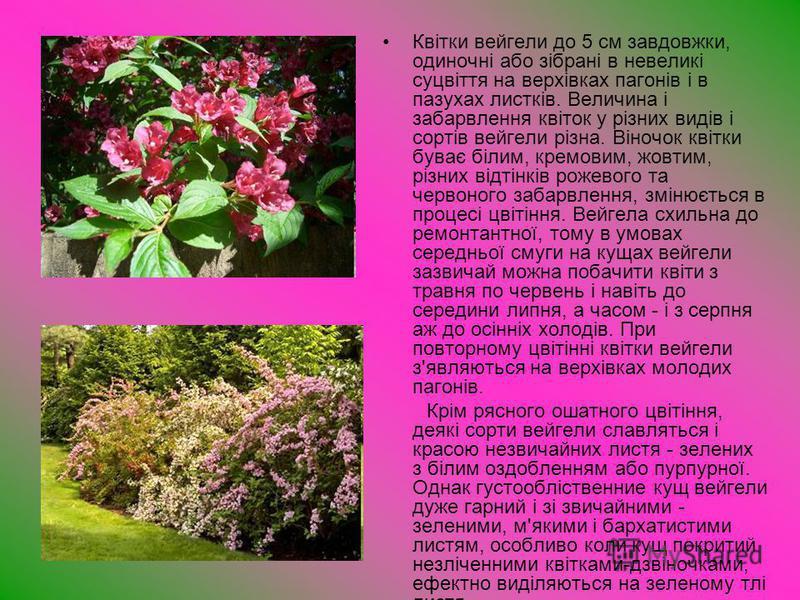 Квітки вейгели до 5 см завдовжки, одиночні або зібрані в невеликі суцвіття на верхівках пагонів і в пазухах листків. Величина і забарвлення квіток у різних видів і сортів вейгели різна. Віночок квітки буває білим, кремовим, жовтим, різних відтінків р