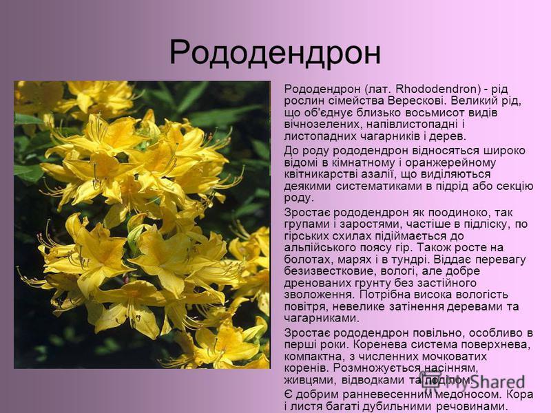 Рододендрон Рододендрон (лат. Rhododendron) - рід рослин сімейства Верескові. Великий рід, що об'єднує близько восьмисот видів вічнозелених, напівлистопадні і листопадних чагарників і дерев. До роду рододендрон відносяться широко відомі в кімнатному