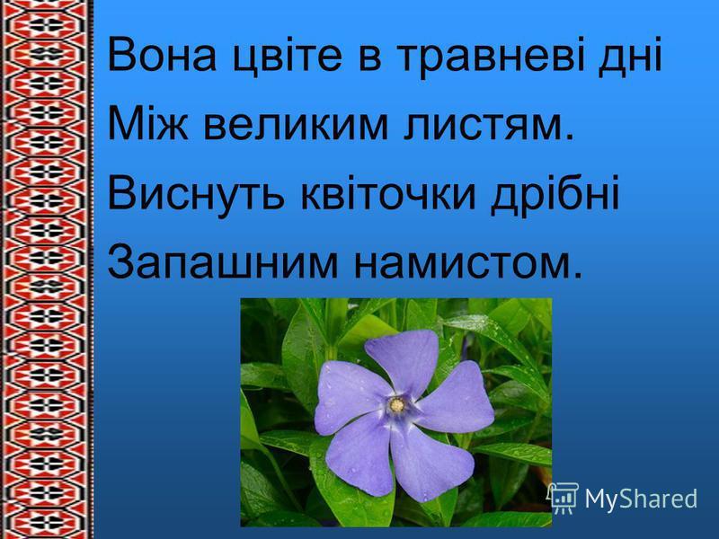 Вона цвіте в травневі дні Між великим листям. Виснуть квіточки дрібні Запашним намистом.