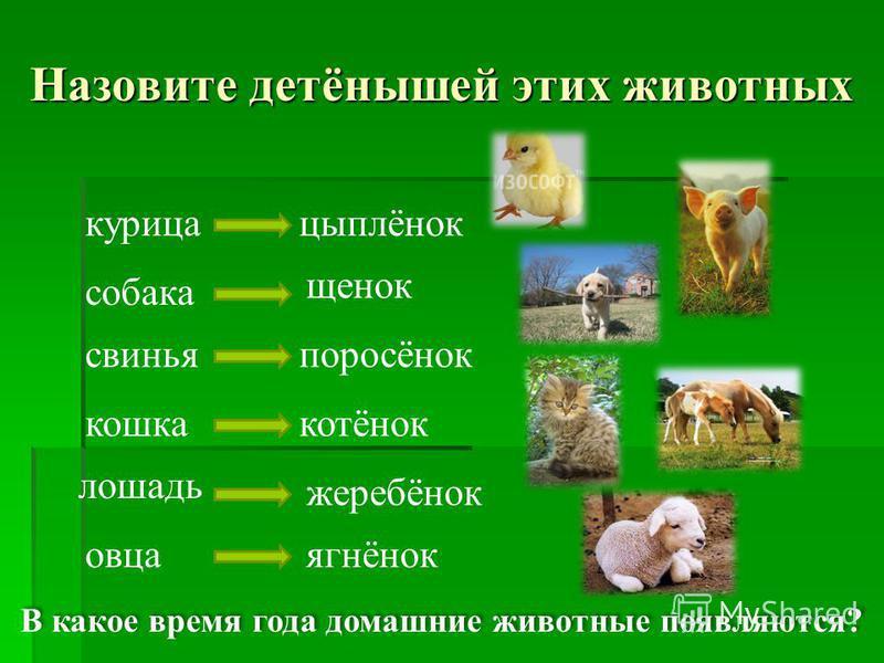 курица собака свинья кошка лошадь овца Назовите детёнышей этих животных цыплёнок щенок поросёнок котёнок жеребёнок ягнёнок В какое время года домашние животные появляются?