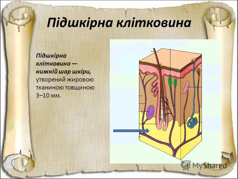 Підшкірна клітковина Підшкірна клітковина нижній шар шкіри, утворений жировою тканиною товщиною 3–10 мм.