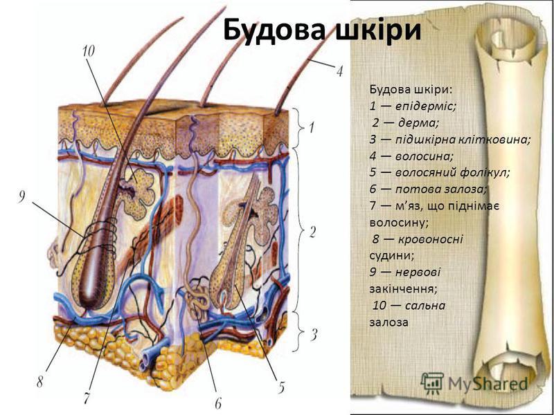 Будова шкіри: 1 епідерміс; 2 дерма; 3 підшкірна клітковина; 4 волосина; 5 волосяний фолікул; 6 потова залоза; 7 мяз, що піднімає волосину; 8 кровоносні судини; 9 нервові закінчення; 10 сальна залоза Будова шкіри
