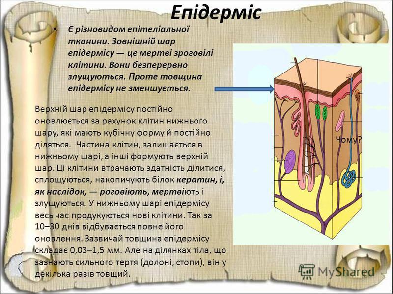 Епідерміс Є різновидом епітеліальної тканини. Зовнішній шар епідермісу це мертві зроговілі клітини. Вони безперервно злущуються. Проте товщина епідермісу не зменшується. Чому? Верхній шар епідермісу постійно оновлюється за рахунок клітин нижнього шар
