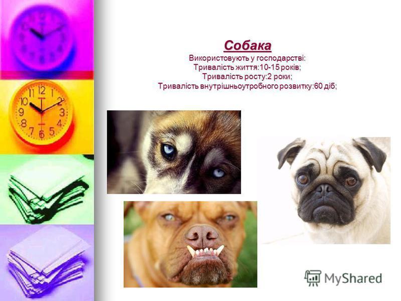 Собака Використовують у господарстві: Тривалість життя:10-15 років; Тривалість росту:2 роки; Тривалість внутрішньоутробного розвитку:60 діб;