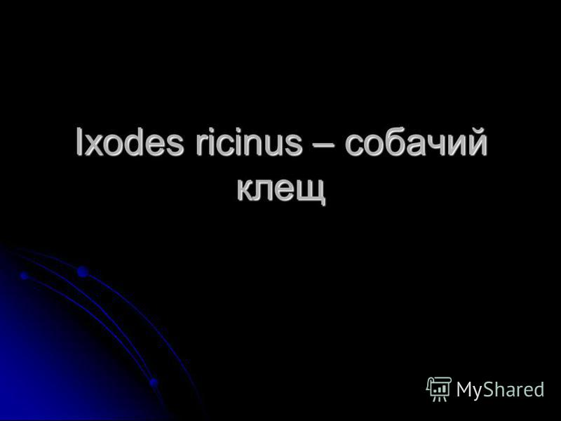 Ixodes ricinus – собачий клещ