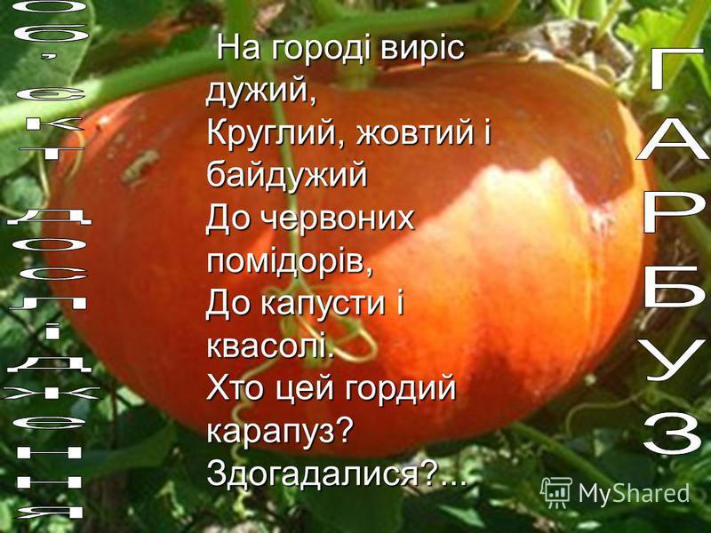 На городі виріс дужий, Круглий, жовтий і байдужий До червоних помідорів, До капусти і квасолі. Хто цей гордий карапуз? Здогадалися?...