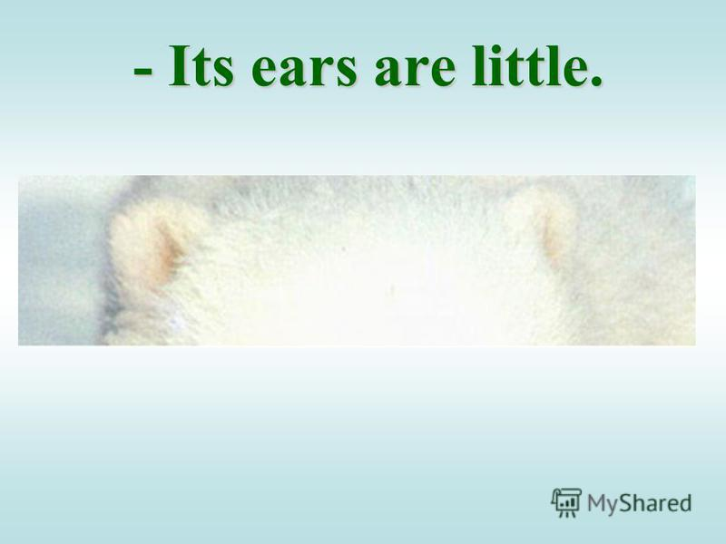 - Its ears are little.