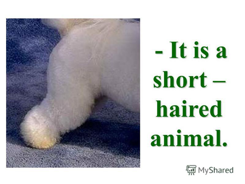 - It is a short – haired animal.