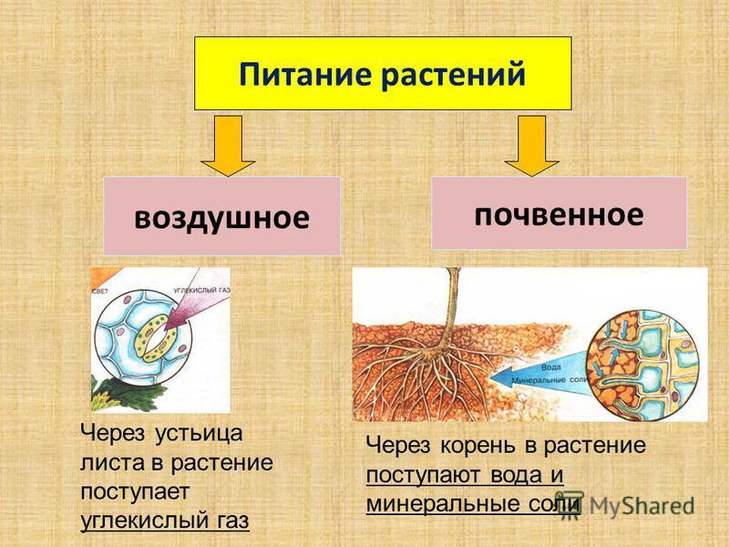 Питание растений воздушное почвенное Через устьица листа в растение поступает углекислый газ Через корень в растение поступают вода и минеральные соли