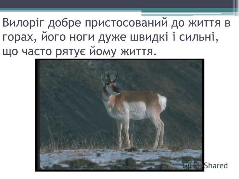 Вилоріг добре пристосований до життя в горах, його ноги дуже швидкі і сильні, що часто рятує йому життя.