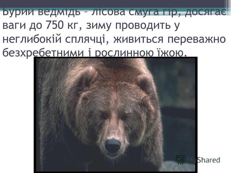Бурий ведмідь – лісова смуга гір, досягає ваги до 750 кг, зиму проводить у неглибокій сплячці, живиться переважно безхребетними і рослинною їжою.