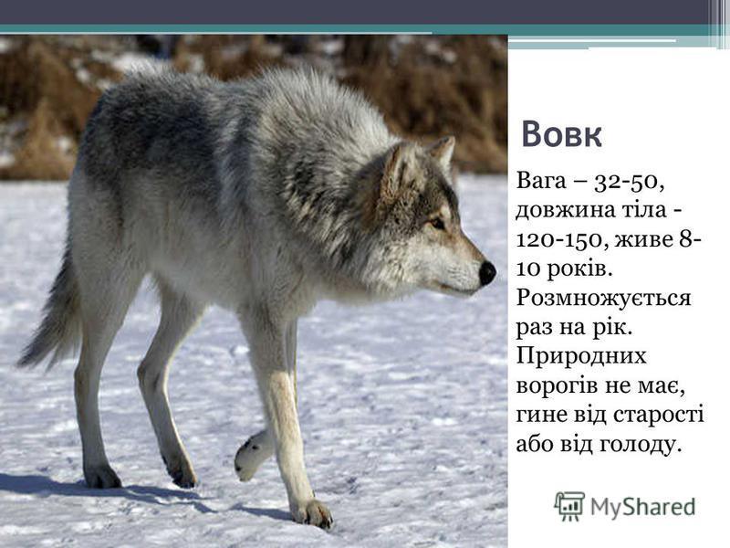 Вовк Вага – 32-50, довжина тіла - 120-150, живе 8- 10 років. Розмножується раз на рік. Природних ворогів не має, гине від старості або від голоду.