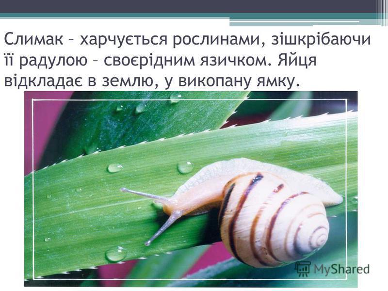 Слимак – харчується рослинами, зішкрібаючи її радулою – своєрідним язичком. Яйця відкладає в землю, у викопану ямку.