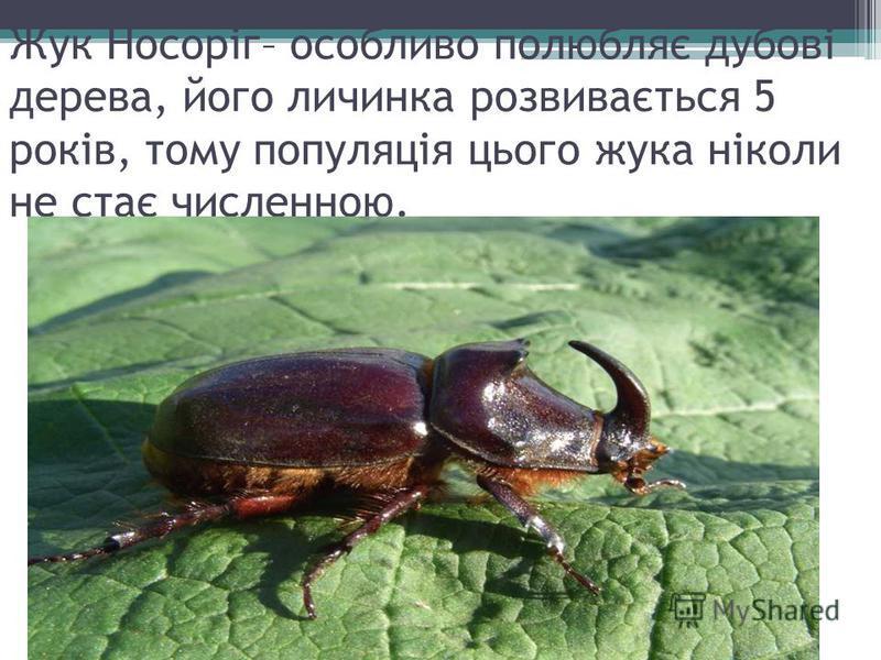 Жук Носоріг– особливо полюбляє дубові дерева, його личинка розвивається 5 років, тому популяція цього жука ніколи не стає численною.
