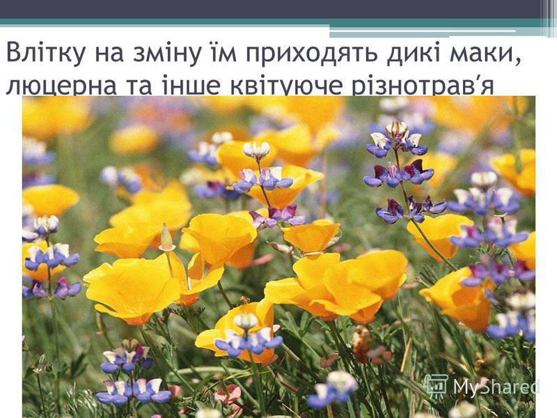 Влітку на зміну їм приходять дикі маки, люцерна та інше квітуюче різнотравя