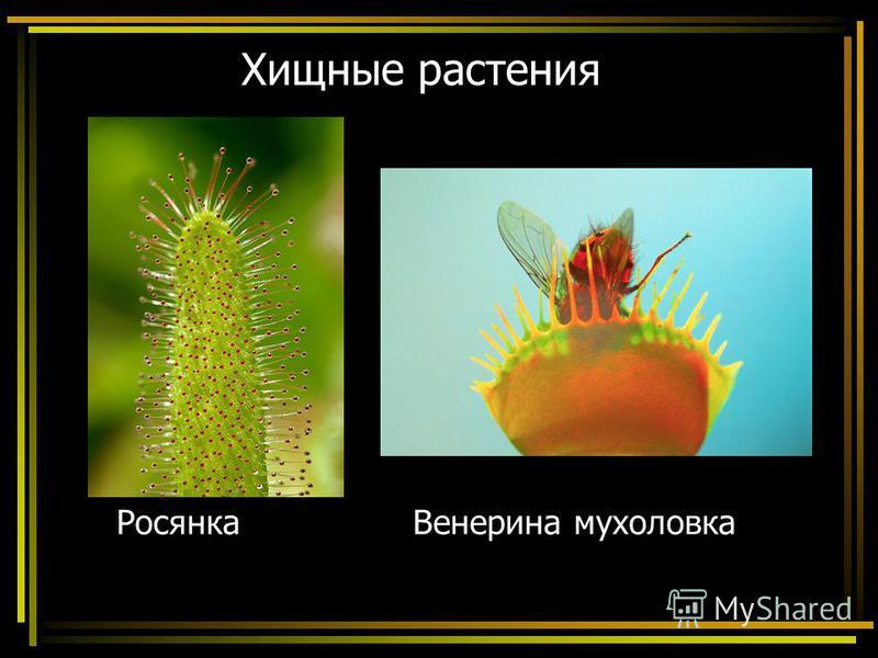 Хищные растения Росянка Венерина мухоловка