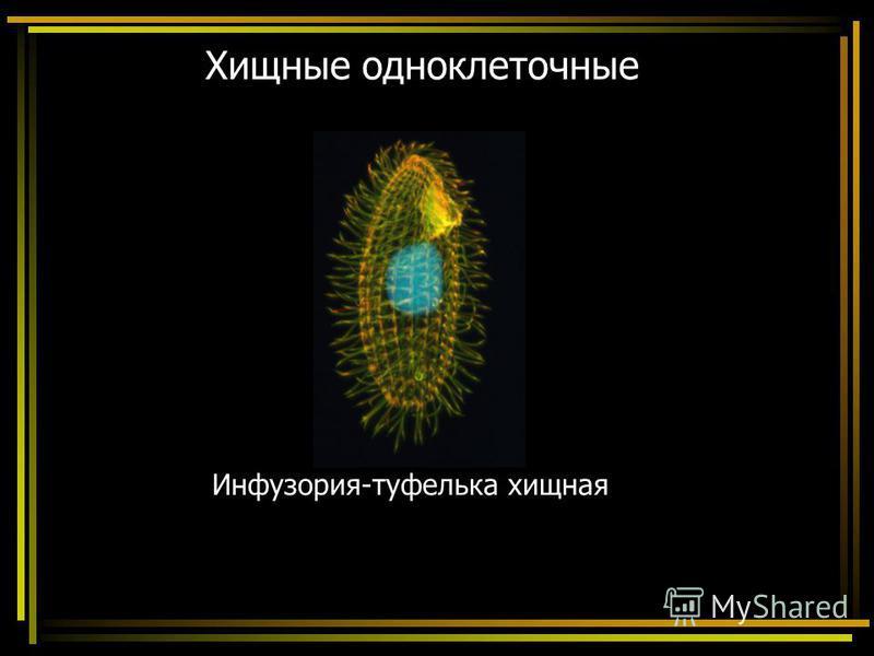 Хищные одноклеточные Инфузория-туфелька хищная