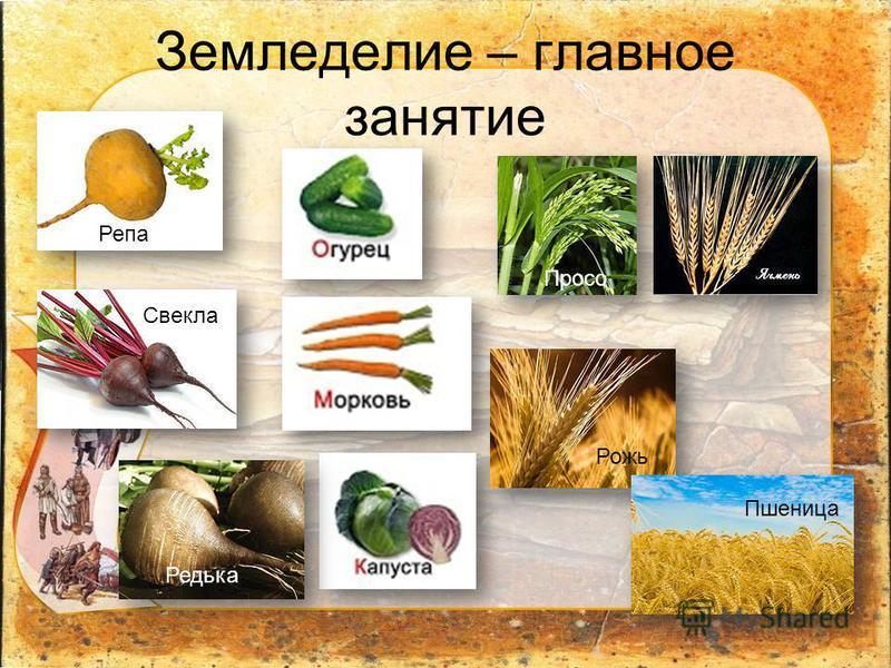 Земледелие – главное занятие Редька Репа Свекла Просо Рожь Пшеница