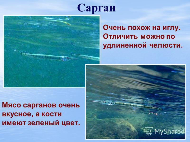 Морская игла Морской конек Эти рыбы живут в зарослях морской травы, питаются планктоном. Самцы вынашивают икринки в особых кожных складках до образования мальков. Каждый из глаз у этих рыб может вращаться самостоятельно.
