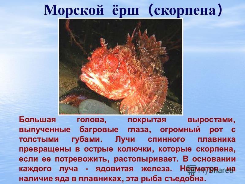 Камбала Тело камбалы несимметрично, т. е. правая сторона не соответствует левой. Оба глаза и ноздри рыбы находятся на одной стороне – на той, которая обращена кверху. Еще камбала способна изменять свою окраску соответственно цвету дна.