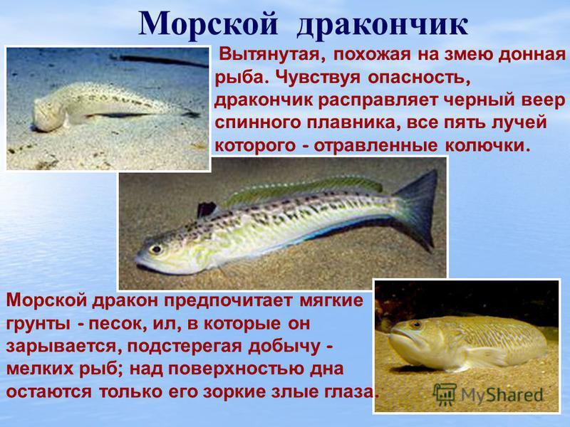 Морской ёрш ( скорпена ) Большая голова, покрытая выростами, выпученные багровые глаза, огромный рот с толстыми губами. Лучи спинного плавника превращены в острые колючки, которые скорпена, если ее потревожить, растопыривает. В основании каждого луча
