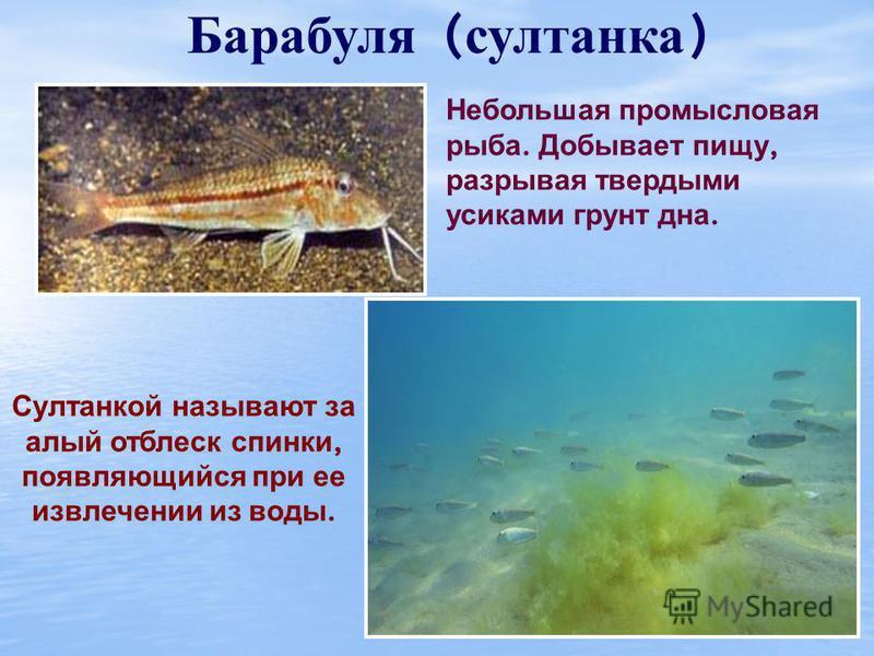 Осётр Относится к ценным видам рыб. Достигает в длину 2 м и 80-100 кг веса. В настоящее время промысел запрещен. Рот у осетровых находится на нижней поверхности головы и лишен зубов. Питается червями и личинками, живущими на дне. Большая часть жизни