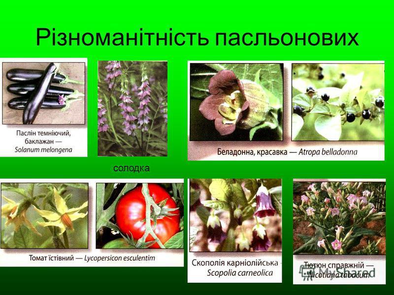 Різноманітність пасльонових солодка